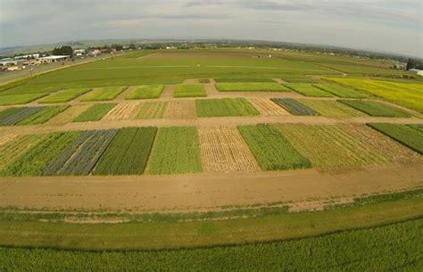 Msu Find Msu News Msu Scientists Find Higher Economic Returns When Grain Growers Use Pulse