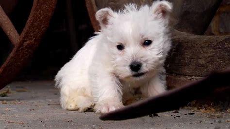 white terrier puppies puppy west highland white terrier