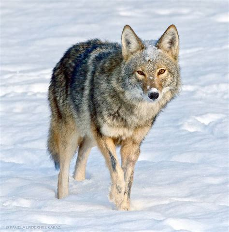 coyote puppy coyote finds acts like a puppy mnn nature network