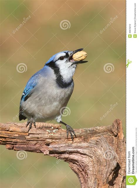 blue jay eating peanuts