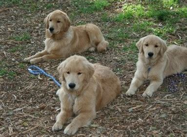 golden retriever stages golden retriever puppy stages dogs in our photo