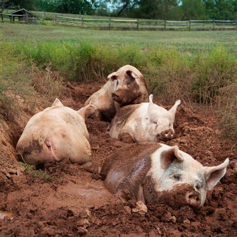 Water Usage Shower Vs Bath file yorkshire pigs at animal sanctuary jpg wikipedia