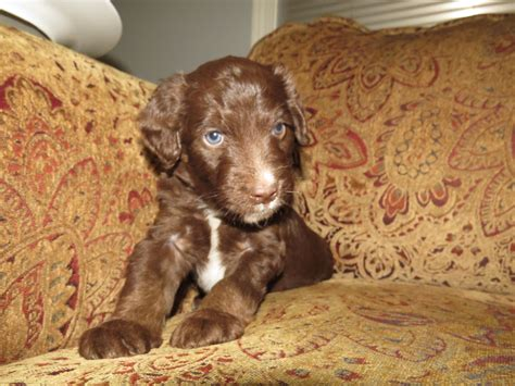 aussiedoodle indiana aussiedoodle puppies in breeds picture