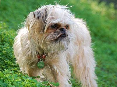 Brussels Griffon Shed by Low Shedding Breeds Low Shedding List
