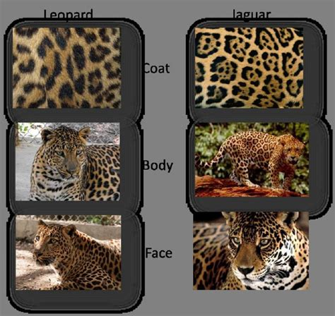 difference between jaguar leopard and panther leopard vs cheetah vs jaguar vs panther