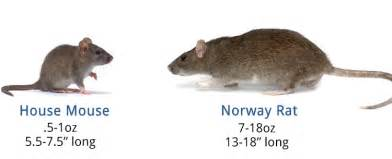 rats vs mice differences questions and answers