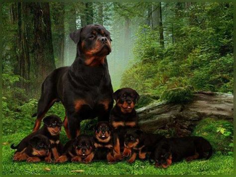 best rottweiler breeders in the world as a german rottweiler puppy breeder we offer german bred rottweiler puppies youth and