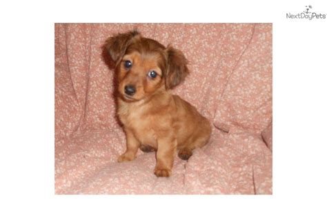 miniature dachshund puppies for sale in missouri miniature dachshund puppy for sale breeds picture