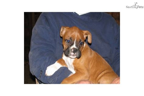 boxer puppies for sale in wisconsin boxer puppy for sale near eau wisconsin 29b0cd9d f131