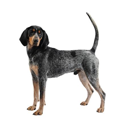 what does a walker hound dog look like bloodhound purina 174