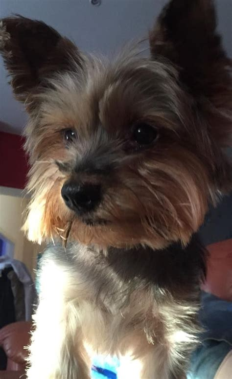 yorkie for sell terrier boy not for sell southport