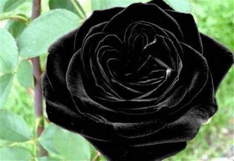 jual benih bibit biji bunga mawar hitam import