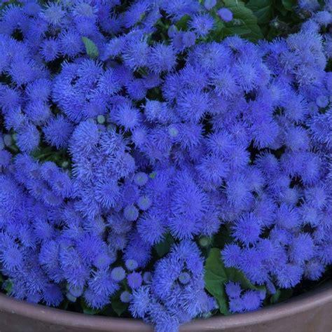 Id 82 Blue Flower floss flower blue ageratum houstonianum mill