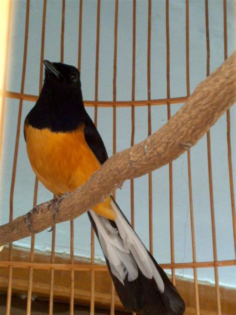 kicau burung murai batu youtube murai batu jambi 24 hobi burung kicau
