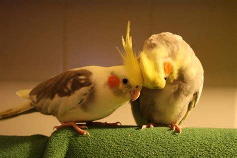 animali volanti tutto sulla calopsite pappagallino con il ciuffo