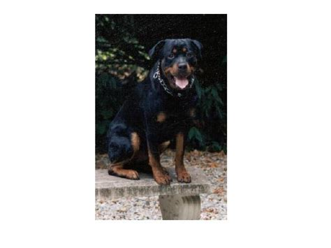 seizures in rottweilers bud picture 3 23 2000 187 2infinity rottweilers