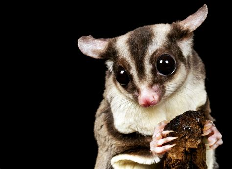 sugar gliders telling males from females