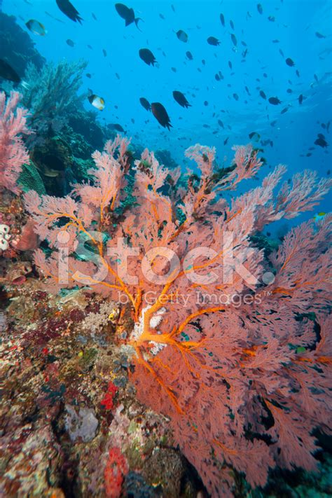 Turedo Sandal Selop Flower Pink Tua bright pink sea fan on a tropical coral reef stock photos freeimages