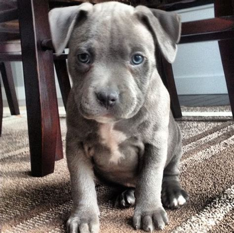pit picture best 25 blue nose pitbull puppies ideas on
