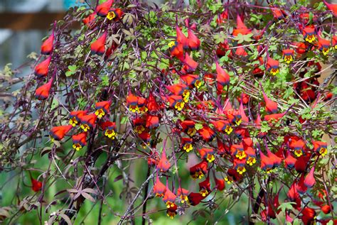 annual climbing plants tropaeolum tricolor plant flower stock photography