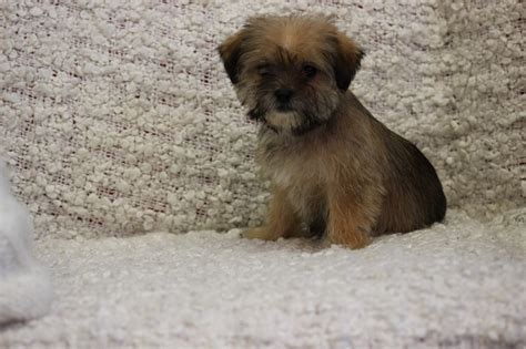 shih tzu cross puppies pin shih tzu femea s 163 o paulo filhotes de yorkshires on
