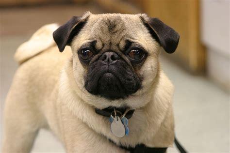 www pug fotos de perros de la raza pug para fondo de pantalla