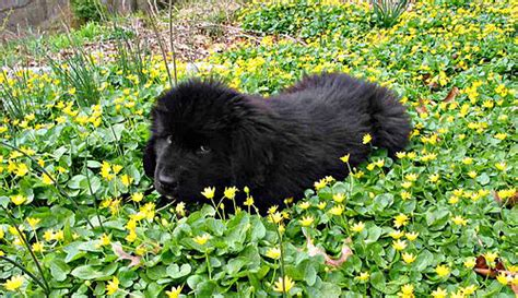 newfoundland puppies wisconsin newfoundland the free encyclopedia