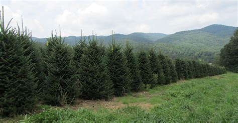 high country christmas trees specilizes in the growing