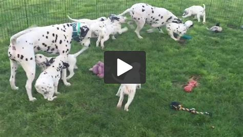 dalmatian puppies near me mamma dalmatian shows pups how to play fetch animal shelters near me