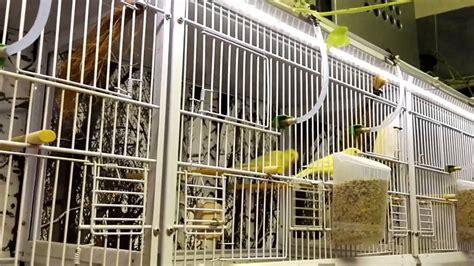 impianto illuminazione led impianto illuminazione a led allevamento canarini