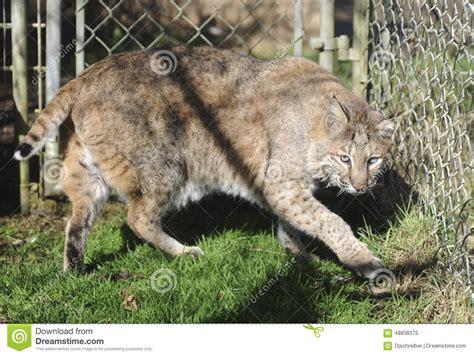 gatto in gabbia gatto selvatico nella cattivit 224 fotografia stock