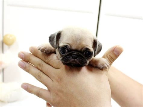 tea cup pug teacup pug but it looks like the person holding it is strangling the poor