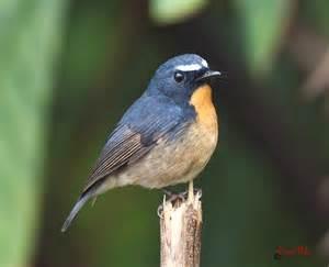 south east asia birds   malaysia birds paradise snowy browed