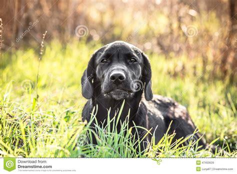 green labrador puppy labrador retriever puppy in green grass stock photo image 47450629
