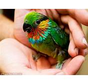 Parrot So Cute He Could Make You As Sick Scarlet Cheeked Fig Chick