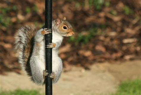 funny animals pole dance squirrel pole sport