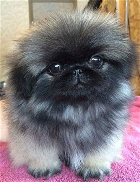 want ad digest puppies pekingese puppies pet puppies for sale in lake george ny a00006 want ad digest