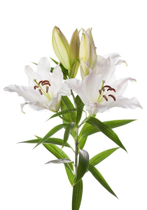 fiore giglio bianco fiori giglio bianco immagine stock immagine di