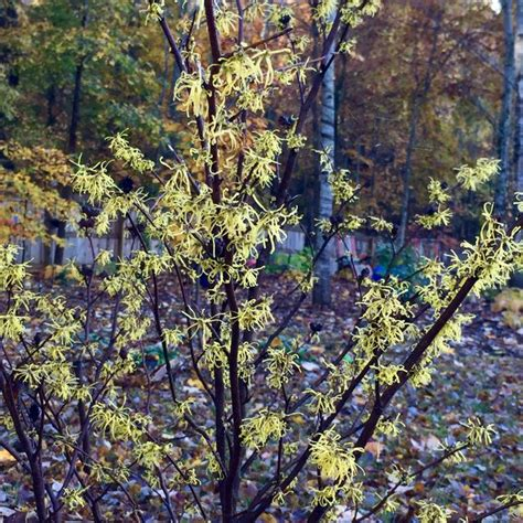 hamamelis virginiana by tracy blevins on plants map