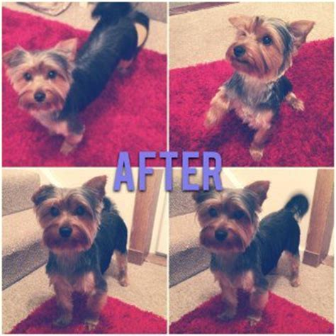 before and after terriers hair cut different yorkie haircut styles yorkshire terrier