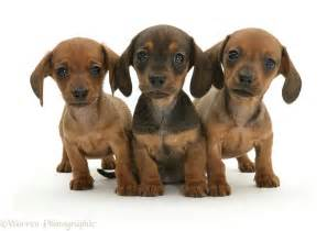 Dachshund Puppies Dogs Three Dachshund Puppies Photo Wp09695