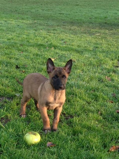 belgian shepherd puppies for sale belgian shepherd puppies for sale in the uk breeds picture