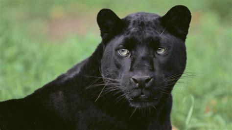 what is the scientific name of what is the scientific name for a black panther reference