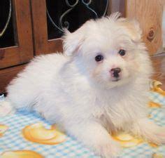 pomeranian diet to lose weight pomapoo pomeranian poodle mix info temperament puppies pictures poodle