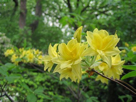 Set Kulot Azalea Yellow yellow azaleas h flickr
