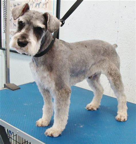 different haircuts for a miniature schnauzer image result for short schnauzer cut doggy stuff