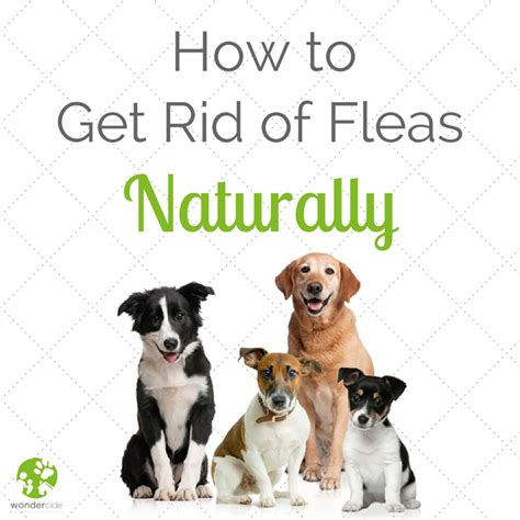 how to get rid of fleas flea