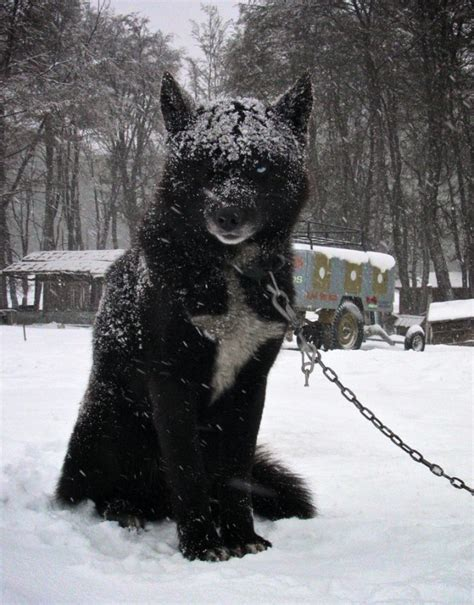black wolf hybrid puppies wolf hybrid