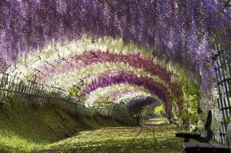 japan flower tunnel wisteria tunnel feel desain