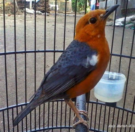 Pakan Branjangan Agar Cepat Ngeplong cara merawat burung anis merah agar cepat ngeplong